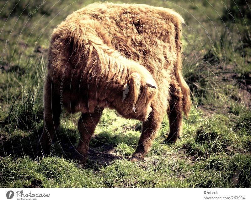 Hochland Gymnastik grün Tier braun gold natürlich Reinigen berühren Kuh Nutztier