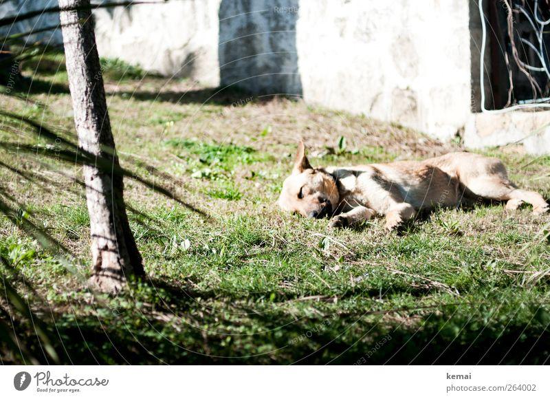 Müde Umwelt Frühling Sommer Schönes Wetter Pflanze Gras Grünpflanze Baumstamm Park Tier Haustier Hund Fell 1 liegen schlafen Pause Siesta Straßenhund Farbfoto
