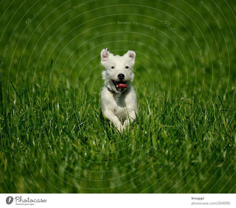 Frostie IV Hund Natur weiß grün Pflanze Sonne Sommer Freude Tier Wiese Gras springen Glück Tierjunges Gesundheit Zufriedenheit