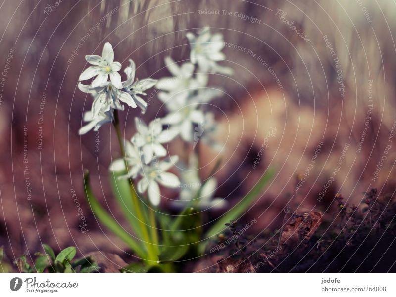 ein Sonnenschein, zwei Sonnenschein... Umwelt Natur Pflanze Frühling Schönes Wetter Blume schön weiß Blühend Stern (Symbol) Blüte Hyazinthe frühlingsblüher