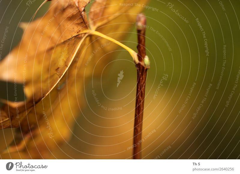 Blatt Natur Pflanze Herbst Winter Bewegung verblüht ästhetisch authentisch einfach elegant frei Freundlichkeit natürlich braun gelb grün Gelassenheit geduldig