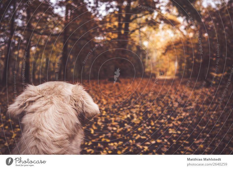 Waldblick Landschaft Herbst Tier Haustier Hund Fell Golden Retriever 1 beobachten Blick kuschlig natürlich weich braun Zufriedenheit Vorfreude Tierliebe ruhig