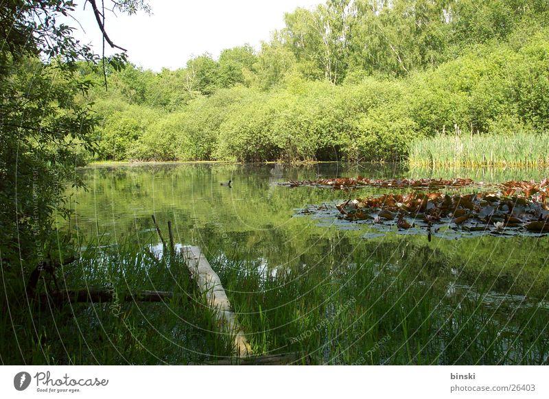 Teich grün Steg Schilfrohr Wasser