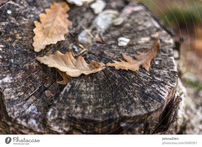Eichenblätter auf dem alten Stumpf im Herbst schön Tapete Umwelt Natur Pflanze Baum Blatt Park Wald Holz dunkel hell natürlich braun gelb gold Farbe