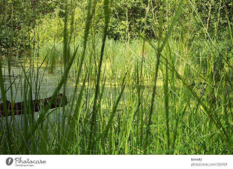 Schilf Schilfrohr Steg Teich
