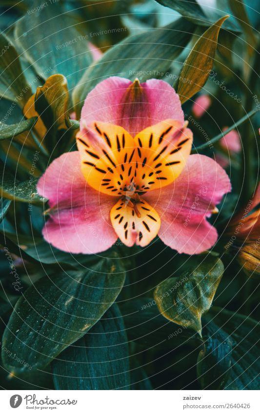 Nahaufnahme einer gelben und rosa Blüte von Alstroemeria aurea. Kräuter & Gewürze schön Sommer Garten Gartenarbeit Natur Pflanze Blume hell klein natürlich