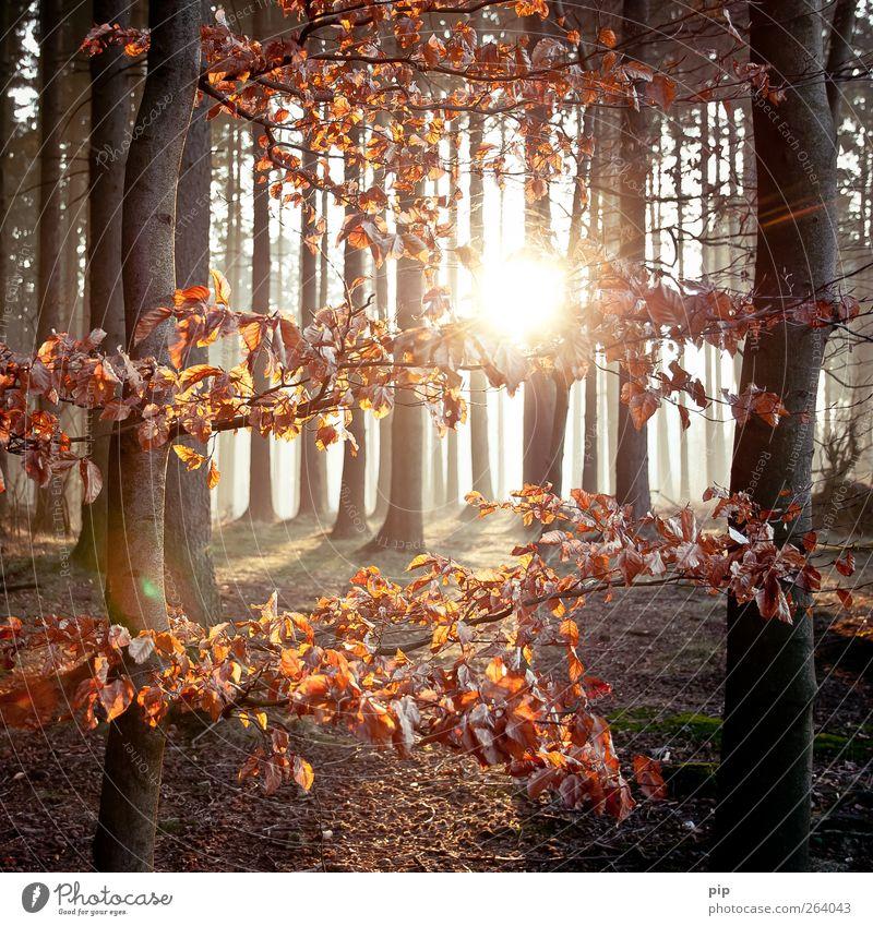 hain Umwelt Natur Landschaft Pflanze Sonne Sonnenaufgang Sonnenuntergang Frühling Herbst Schönes Wetter Baum Blatt Baumstamm Wald frisch natürlich braun