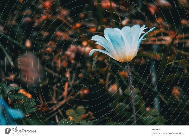 Nahaufnahme einer weißen und isolierten Anemone nemorosa-Blüte mit grünem Blatthintergrund schön Sommer Garten Natur Landschaft Pflanze Frühling Blume Wiese