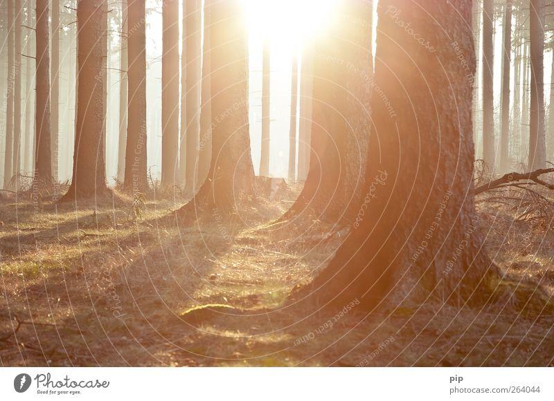 forst Umwelt Natur Landschaft Pflanze Sonne Sonnenaufgang Sonnenuntergang Frühling Klima Schönes Wetter Baum Fichte Tanne Baumstamm Nadelwald Wald frisch hell