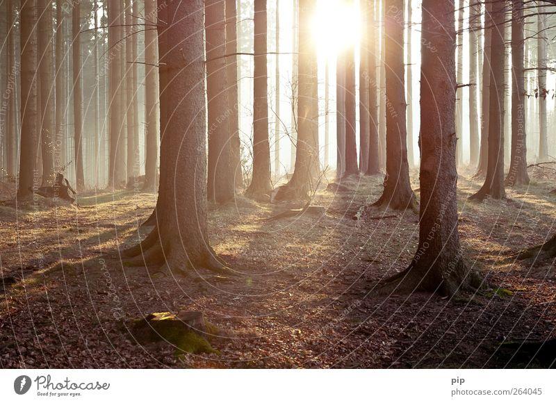 tann Umwelt Natur Landschaft Pflanze Sonne Sonnenaufgang Sonnenuntergang Frühling Sommer Klima Schönes Wetter Baum Fichte Tanne Nadelwald Baumstamm Wald frisch