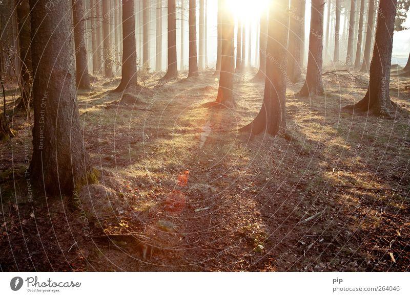 gehölz Umwelt Natur Landschaft Pflanze Sonne Sonnenaufgang Sonnenuntergang Sommer Klima Schönes Wetter Baum Baumstamm Tanne Fichte Nadelwald Wald frisch hell