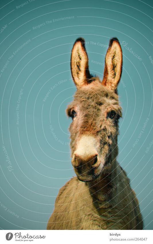 Osterhasenkonkurrent schön Tier groß außergewöhnlich ästhetisch authentisch leuchten niedlich beobachten Neugier Ohr lang hören Gesichtsausdruck Partnerschaft Interesse