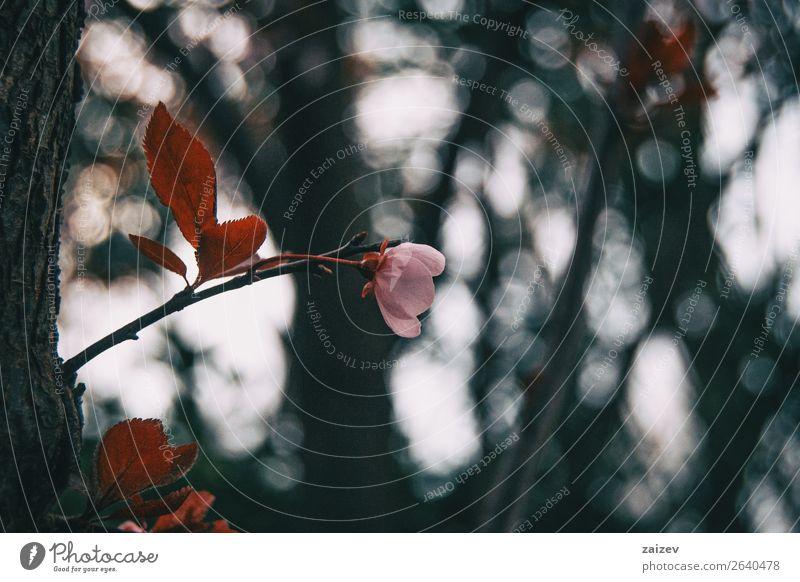Nahaufnahme von kleinen hellrosa Blüten schön Garten Dekoration & Verzierung Natur Pflanze Frühling Baum Blume Sträucher Blatt Blühend frisch natürlich weiß