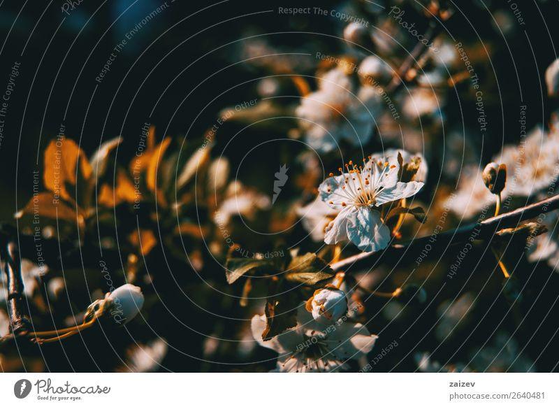 Weiße Blüten am Ast Frucht Apfel schön Duft Garten Natur Pflanze Frühling Baum Blume Blatt Park Wachstum frisch hell natürlich grün weiß Farbe Malus pumila