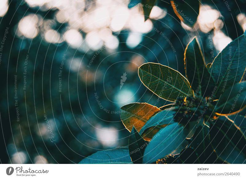 Grüne Blätter von Ligustrum lucidum in der Natur schön Windstille Winter Berge u. Gebirge Garten Tapete Pflanze Sträucher Blatt Park Wald dunkel natürlich wild