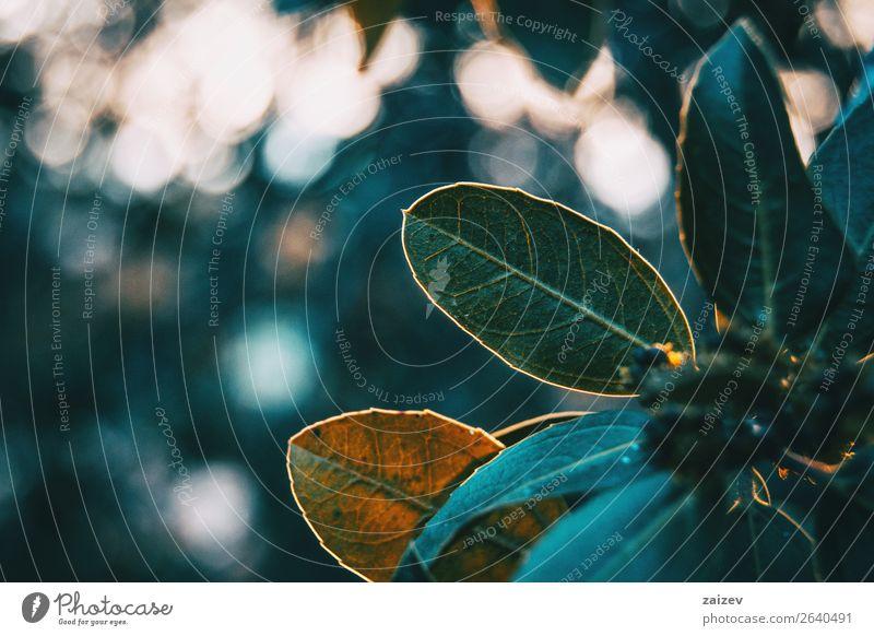 Grüne Blätter von Ligustrum lucidum in der Natur schön Windstille Winter Berge u. Gebirge Garten Tapete Pflanze Sträucher Blatt Park Wiese Wald dunkel natürlich