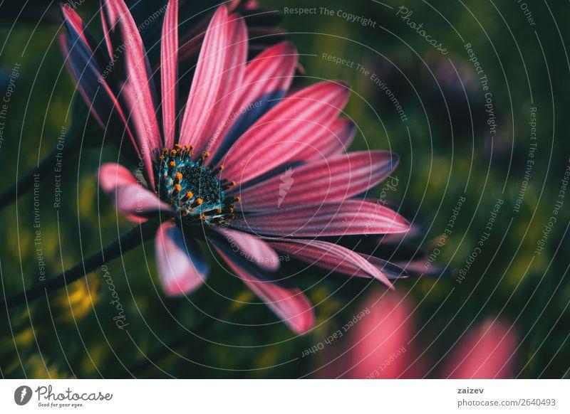 Rosa Blüte des Osteospermum ecklonis bei Sonnenuntergang Sommer Garten Tapete Natur Pflanze Blume Blatt Wildpflanze Park natürlich grün rosa rot Einsamkeit