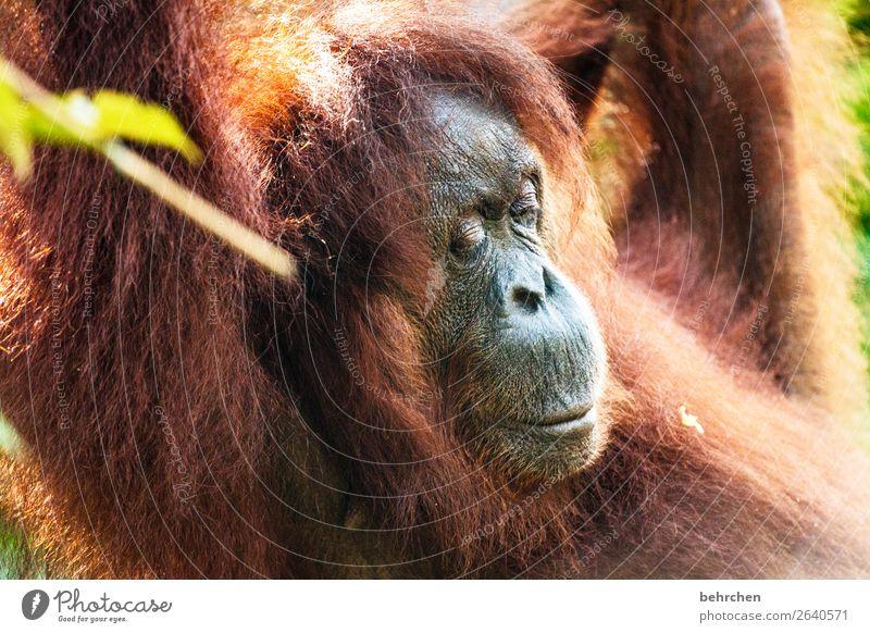 träumen Ferien & Urlaub & Reisen Tourismus Ausflug Abenteuer Ferne Freiheit Urwald Wildtier Tiergesicht Fell Affen Menschenaffen Orang-Utan 1 beobachten