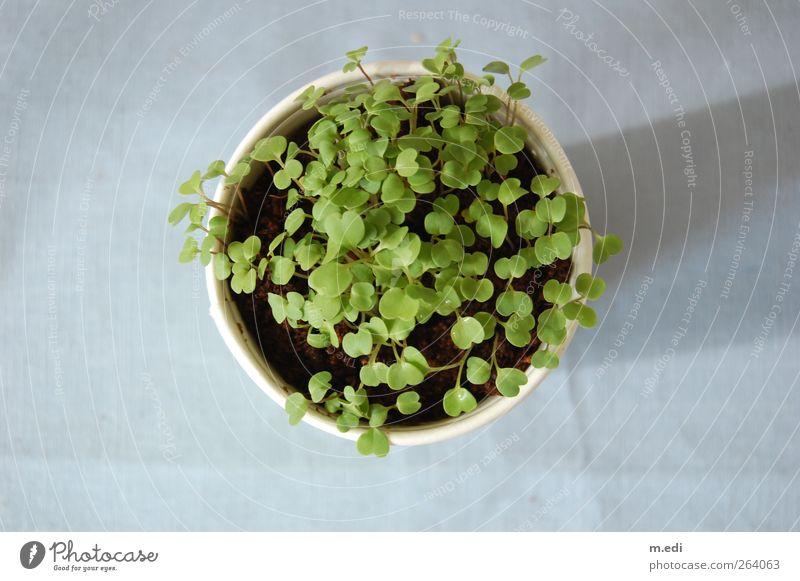 es soll mal rucola werden... Natur blau grün Pflanze Blume Wachstum Nutzpflanze Topfpflanze Rucola