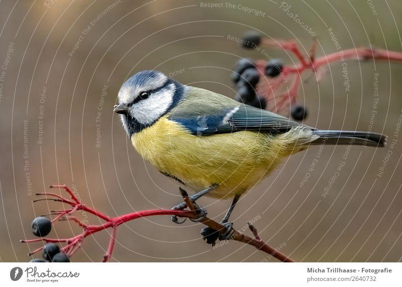 Blaumeise auf einem Holunderzweig Umwelt Natur Tier Sonnenlicht Schönes Wetter Sträucher Holunderbeeren Holunderbusch Wildtier Vogel Tiergesicht Flügel Krallen
