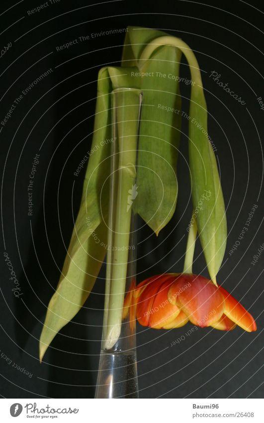 sterbende Tulpe Blume Vase rot orange welk