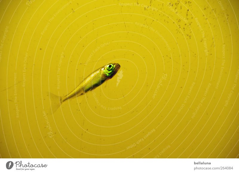 Wenn ich mal groß bin... Natur Wasser Teich See Tier Wildtier Fisch Tiergesicht Schuppen 1 Tierjunges Schwimmen & Baden gelb grün Farbfoto Gedeckte Farben