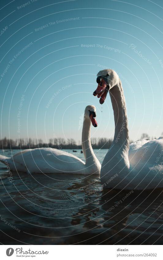 Schwanenchor zum Geburtstag Umwelt Natur Wasser Himmel Wolkenloser Himmel Wetter Schönes Wetter Tier Wildtier Vogel Flügel 2 Tierpaar Schwimmen & Baden Farbfoto