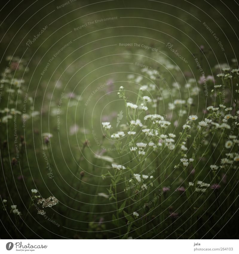 NORDREISENDER | blümchen... Natur weiß grün Pflanze Sommer Blume Blatt Umwelt Wiese Gras Frühling Blüte wild natürlich Wildpflanze