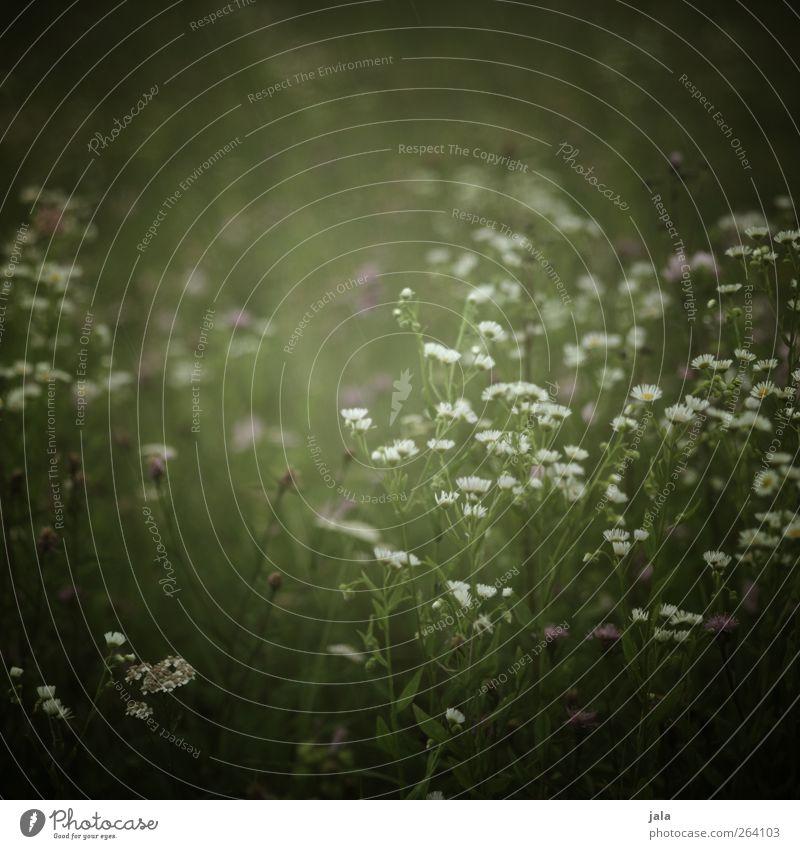 NORDREISENDER | blümchen... Umwelt Natur Pflanze Frühling Sommer Blume Gras Blatt Blüte Wildpflanze Wiese natürlich wild grün weiß Farbfoto Außenaufnahme