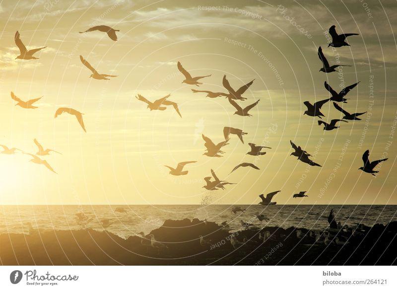 Nordseereisender: Happy Birthday Tier Küste Möwe Vogelschwarm Meeresvogel gold schwarz Sehnsucht Heimweh Fernweh Sonnenuntergang Gischt Belgien Middelkerke