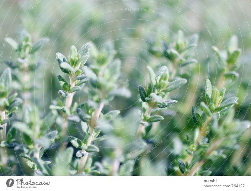 Thymian Natur Landschaft Pflanze Frühling Sommer Blatt Grünpflanze Nutzpflanze Feld grün Kräuter & Gewürze Kräutergarten Unschärfe Farbfoto Würzig