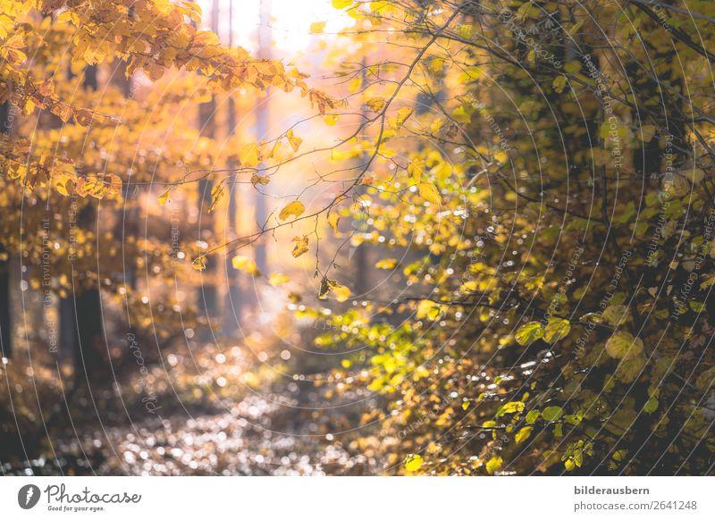 Herbstlichtzauber Schönes Wetter glänzend Glück Optimismus Reinheit Hoffnung Herbstlaub Wald Herbstwald bezaubernd Herbstfärbung leuchten Sonnenlicht Farbfoto