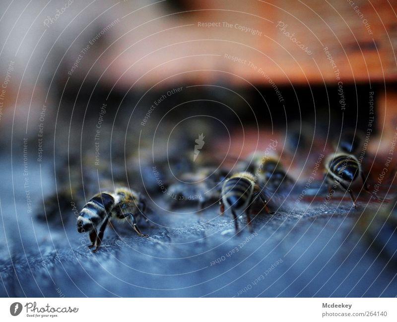 other colonies 6 Umwelt Natur Tier Sommer Wiese Nutztier Wildtier Biene 3 Schwarm authentisch Gesundheit natürlich blau braun gold grau rosa schwarz weiß