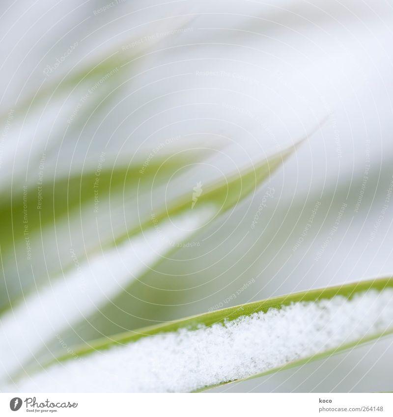 Alles Glück der Welt für den Nordreisenden! Natur weiß grün schön Pflanze Winter Blatt Umwelt kalt Schnee grau Gras Linie frisch ästhetisch Wachstum