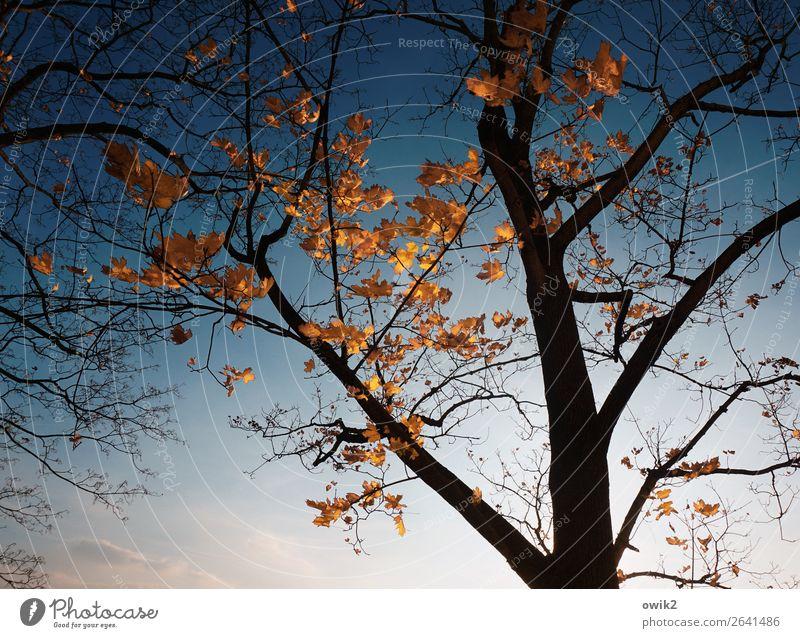 Die Letzten Umwelt Natur Pflanze Wolkenloser Himmel Baum Blatt Zweige u. Äste Baumstamm Ahorn Ahornblatt Herbstlaub leuchten dehydrieren trocken blau orange