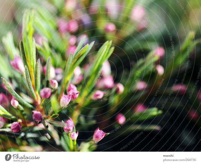 Hakige Chamelaucium Natur grün Pflanze Blume Blatt Blüte Frucht rosa Sträucher Nadel Grünpflanze Nadelbaum