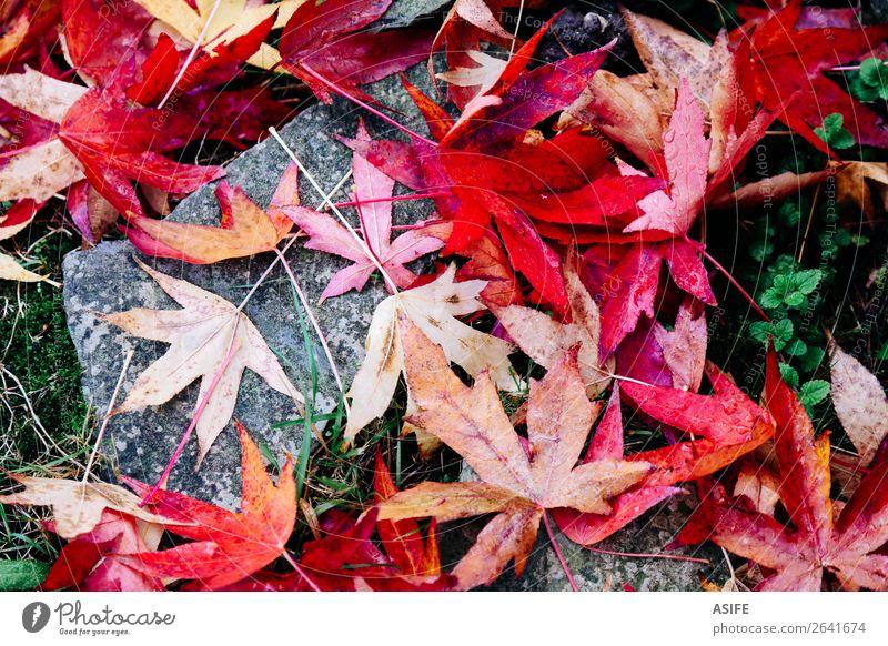 Rotahornblätter auf dem Boden Garten Natur Herbst Moos Blatt Stein Tropfen nass grün rot fallen Ahorn Wasser trocknen gefallen Acer Schwüle Jahreszeiten