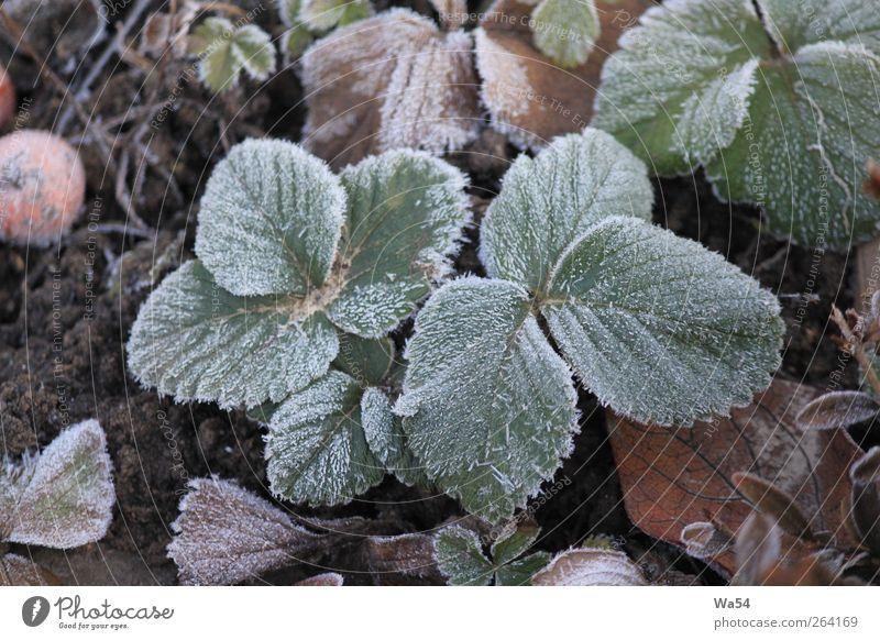 frostig Pflanze Erde Winter Eis Frost Blatt Nutzpflanze Garten Kristalle frieren kalt braun grau grün schwarz silber weiß Natur gefroren harter Boden