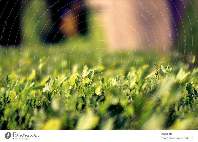 gefallene Sichtweise Umwelt Natur Pflanze Sommer Sträucher Blatt Grünpflanze Wildpflanze Garten Park Wiese grün Farbfoto Außenaufnahme Schwache Tiefenschärfe