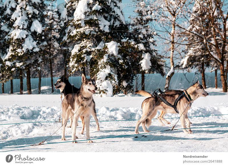 Schlittenhunde Ferien & Urlaub & Reisen Abenteuer Ferne Winter Schnee Winterurlaub Sport Wintersport Natur Sonne Schönes Wetter Eis Frost Baum Wald Tier