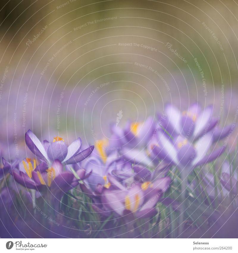 Frühlingsboten Umwelt Natur Landschaft Schönes Wetter Pflanze Blume Gras Blatt Blüte Krokusse Wiese Blühend Wachstum natürlich schön Farbfoto Außenaufnahme
