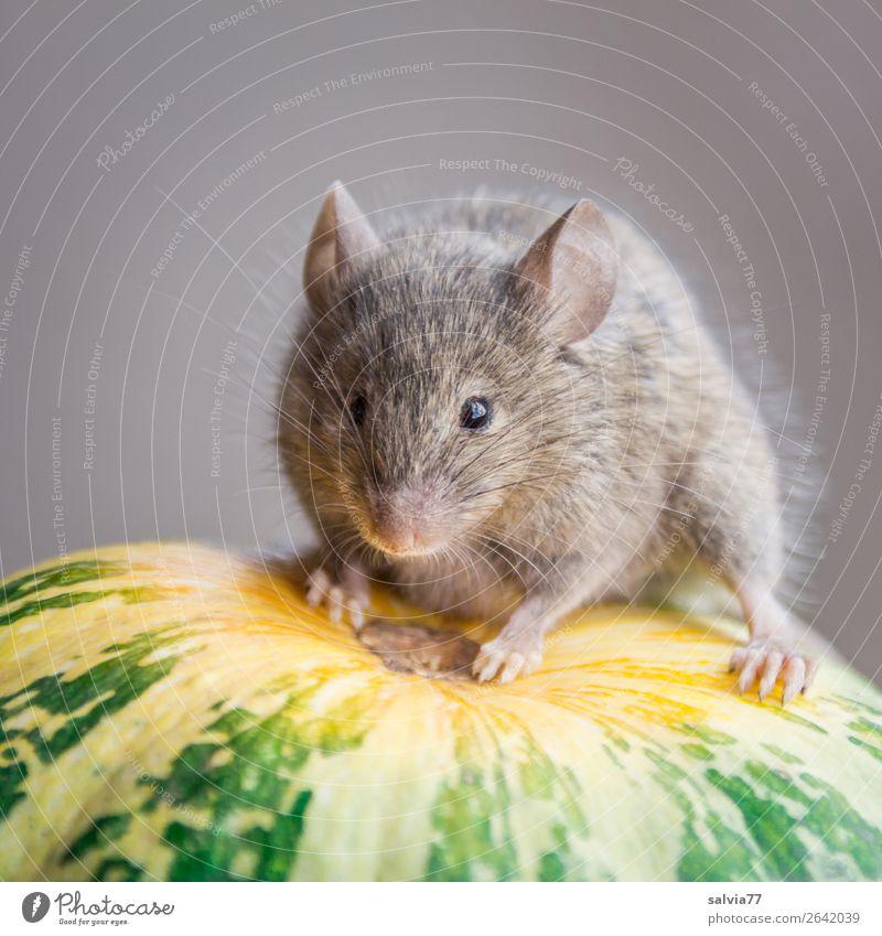 hier kommt die Maus Natur Herbst Pflanze Nutzpflanze Kürbis Garten Tier Tiergesicht Fell Pfote Säugetier Nagetiere 1 beobachten niedlich oben Pause Perspektive