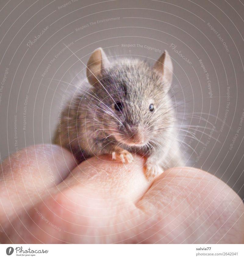 niedliches Haustier Tier Wildtier Maus Tiergesicht Fell Krallen Pfote Nagetiere Hausmaus 1 beobachten krabbeln klein Neugier Vertrauen Tierliebe Schnurrhaar