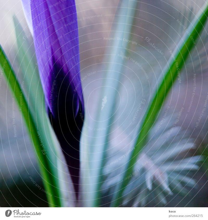 Die Blumen des Frühlings ... Umwelt Natur Pflanze Blüte Linie Blühend Wachstum ästhetisch elegant frisch schön einzigartig grau grün violett schwarz