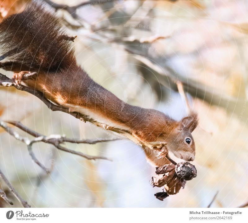 Eichhörnchen streckt sich Natur Baum Tier schwarz gelb orange Frucht Wildtier Schönes Wetter niedlich Nase Ohr nah Fell lang hängen