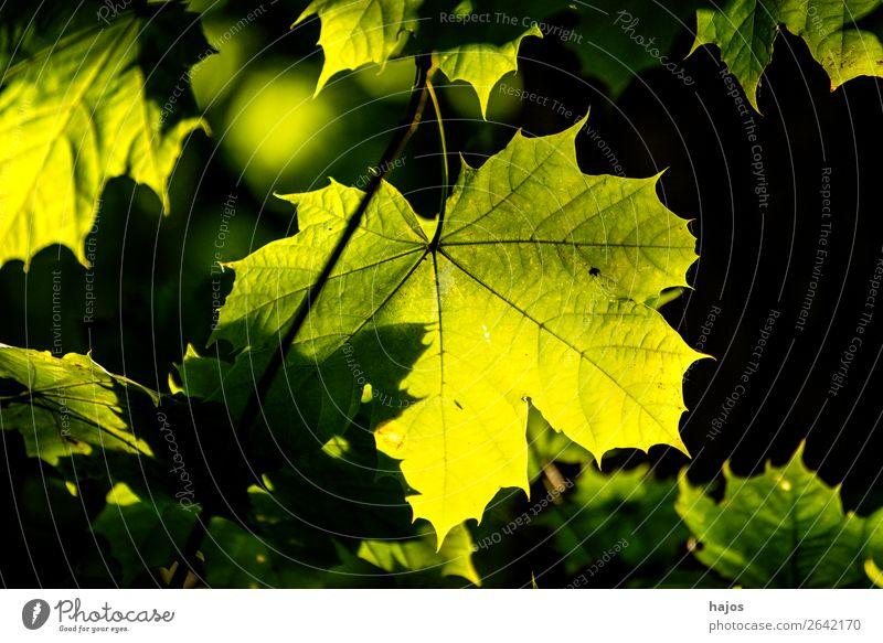 Ahornblatt in Herbstfarben im Gegegnlicht Design Natur Baum hell weich gelb schwarz Gegenlicht grün leuchtend strahlend herbstlich Farbfoto Außenaufnahme