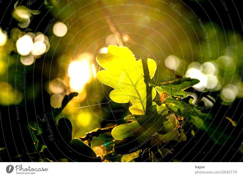 Eichenblatt im Gegenlicht Natur Baum hell grün sonnig strahlend leuchtend bunt herbstlich verfärbt Jahreszeit Wal Sonne romantisch schön Hintergrund unscharf