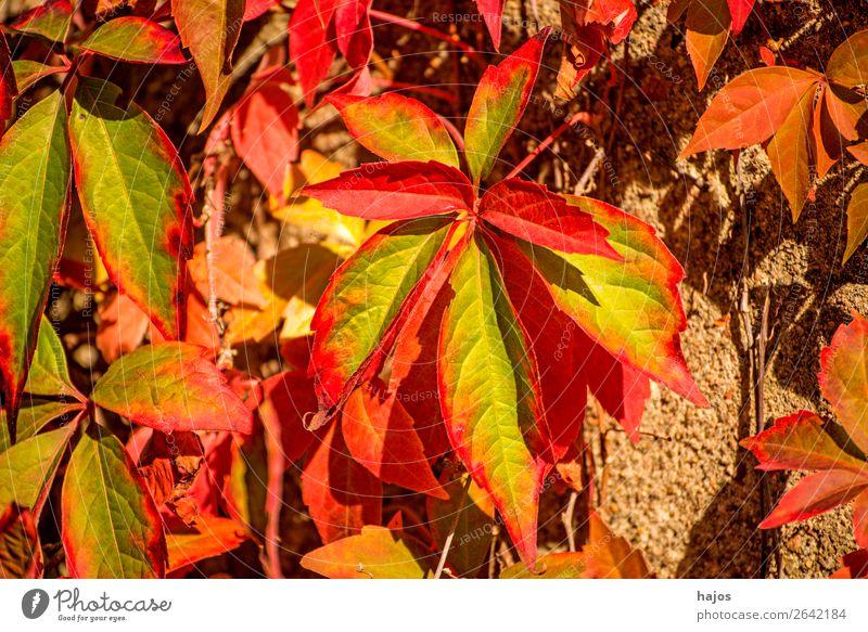 wilder Wein in Herbstfarben Natur Pflanze Mauer Wand gelb rot Wilder Wein Blatt Laub Herbstfärbung Herbstlaub grün mehrfarbig sonnig hell leuchtend Jahreszeiten
