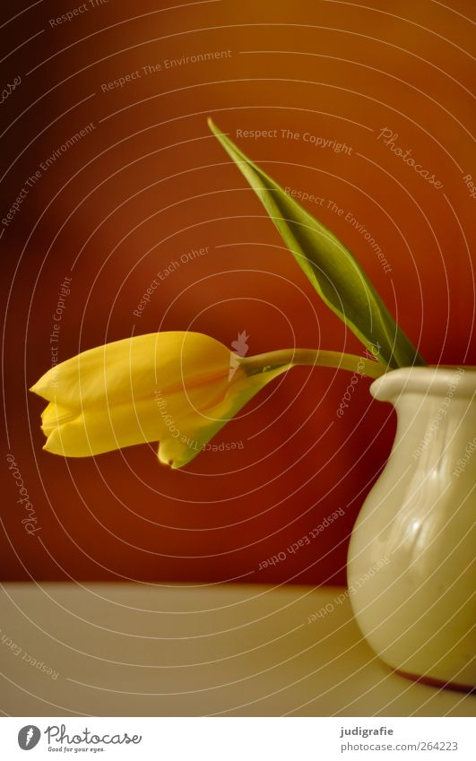 Frühling schön Blume gelb Duft Tulpe Vase Blütenblatt hängend Krug