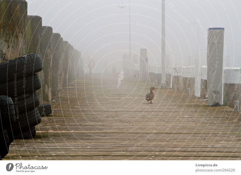 Hafen lauterbach 2 Tier Menschenleer Vogel dunkel gelb grau schwarz weiß Farbfoto Außenaufnahme Morgen Morgendämmerung Ente Steg laufen gehen Rückansicht Nebel